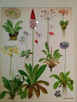 Barbara Everard's 1974 painting of Wild Flowers of the World Plate 93