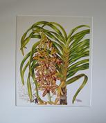 Print of Grammatophyllum speciosum 'Tiger Orchid' watercolour painting by Barbara Everard