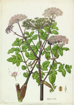 Watercolour painting by Barbara Everard of Wild Angelica