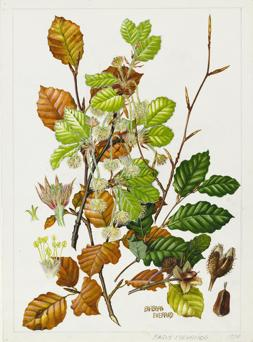 Watercolour painting by botanical artist Barbara Everard of European or Common Beech